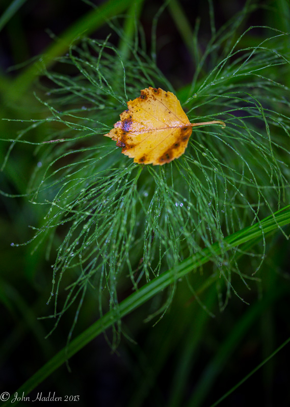 A single bright poplar leaf nests in horsetails along the shore of Indian Lake.
