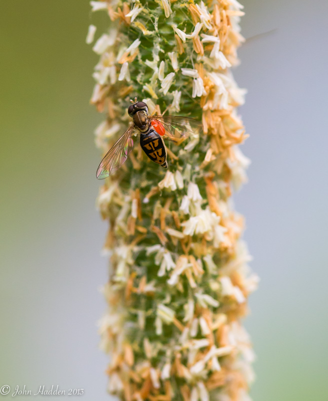 A soldier fly feeds on a blooming grass head.