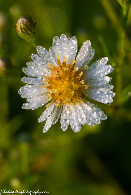 Daisy fleabane soaked with morning dew