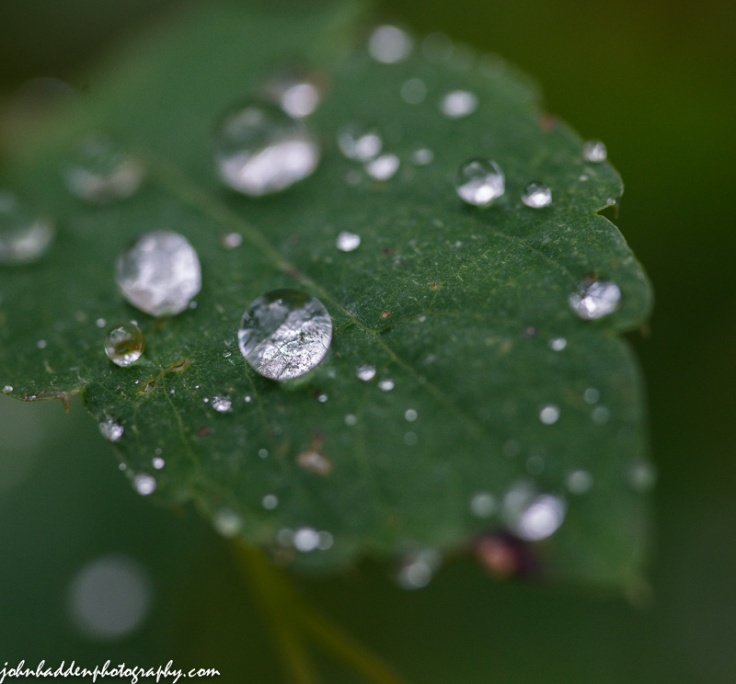 Drops of morning rain bead on the surface of a jewel weed leaf