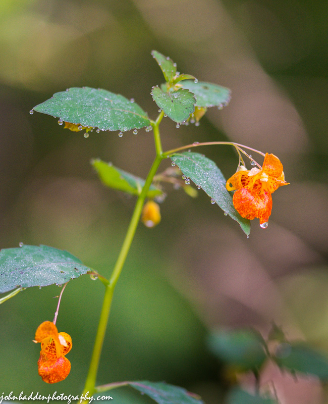 Jewel weed blossoms glisten with morning dew.