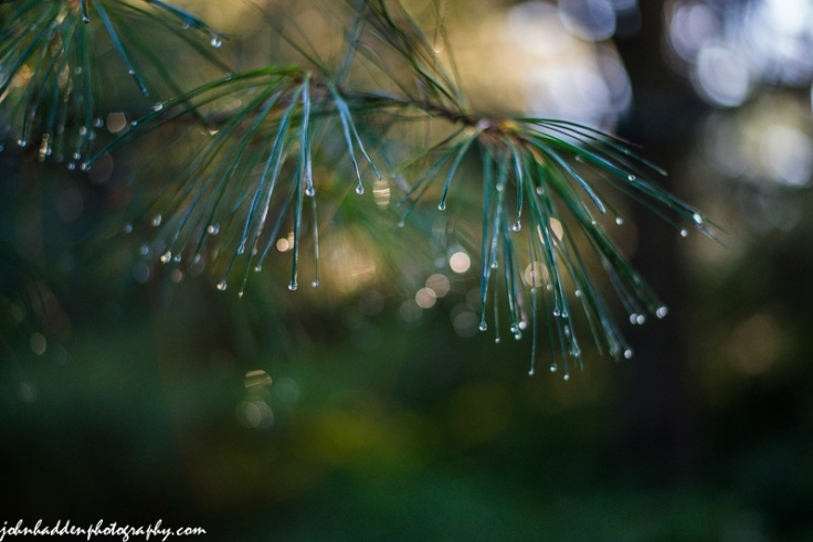 Raindrops sparkle on the tips of  white pine needles after a morning rain.