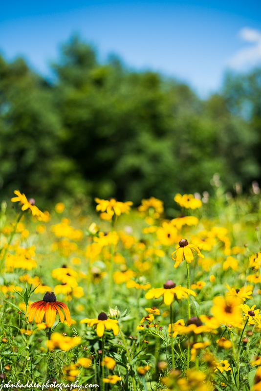 A field of black-eyed Susans