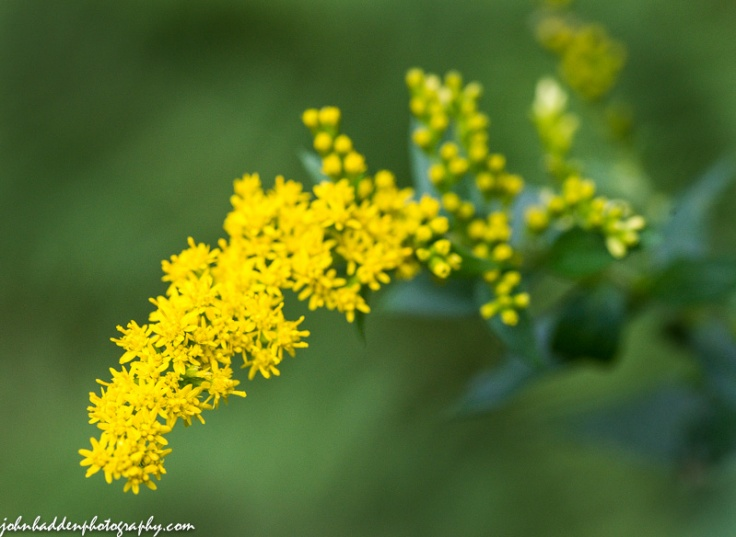 A sprig of goldenrod blooms in the woods