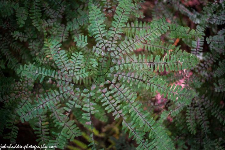 Maidenhair fern along a woodland path