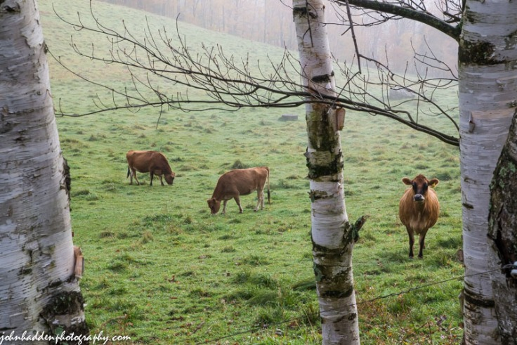 Three Jersey heifers pose amongst some birches