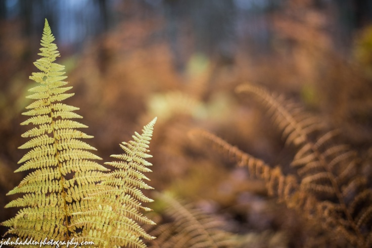 Wood ferns fade to brown