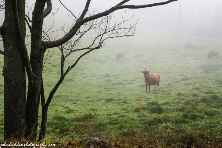 Jersey heifers emerge from morning fog.