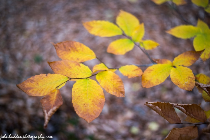 Late fall beech leaves against the dun of the forest floor
