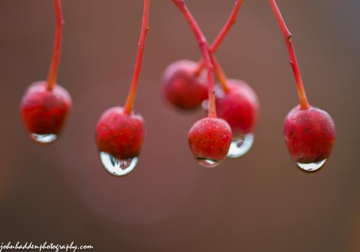 Rain drops cling to Korean mountain ash berries.
