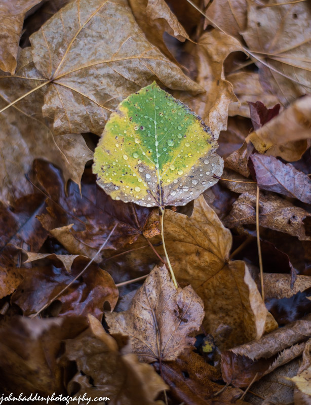 An aspen leaf fades on the forest floor