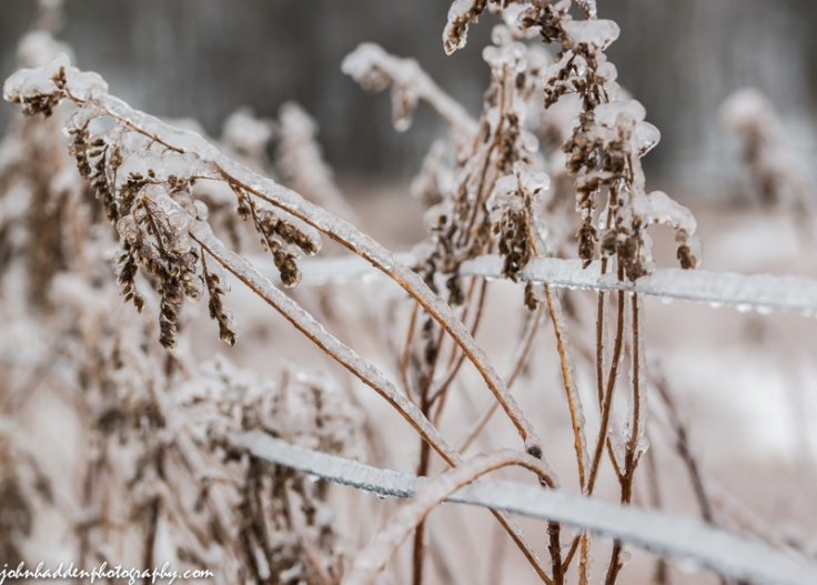 Goldenrod bows under a coating of ice