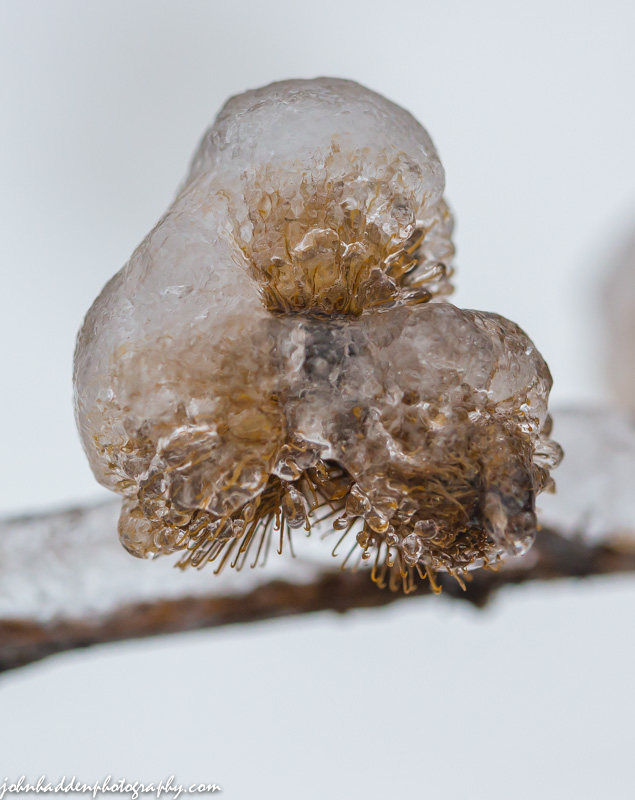 Burrs encased in ice