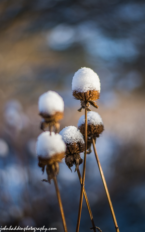 Bee balm deadheads sport morning snow-fros