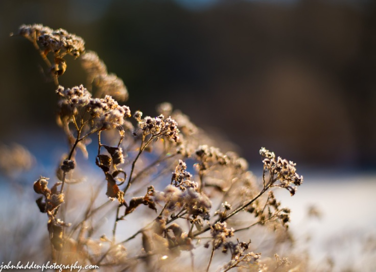 Frost touched dried spirea in morning sun