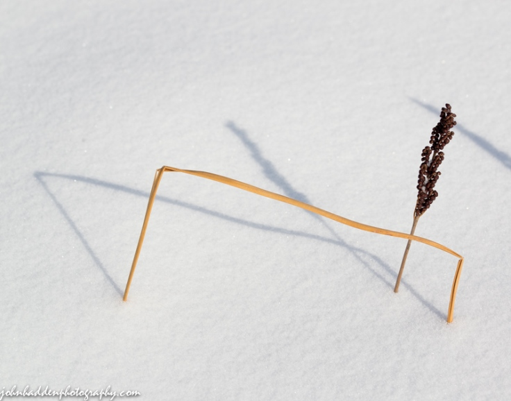 Fern seedpods and bent grass in the snow