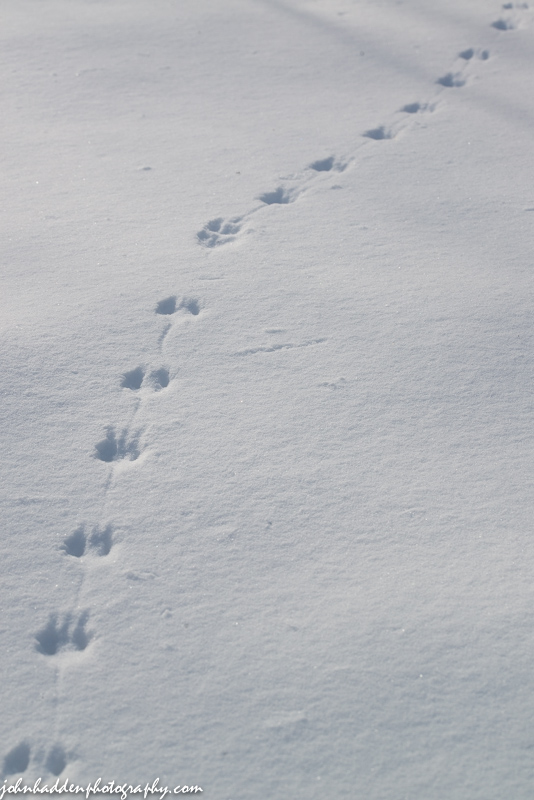 Jumping mouse tracks across fresh snow