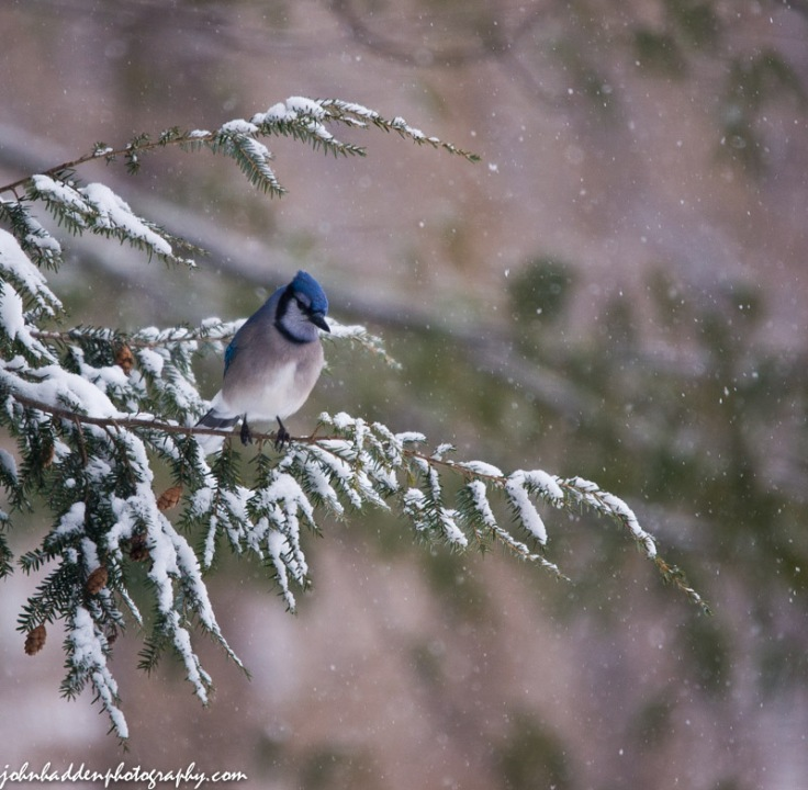A bluejay perched in the hemlock above our feeder