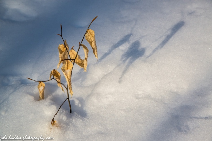 A beech seedling pokes through fresh snow