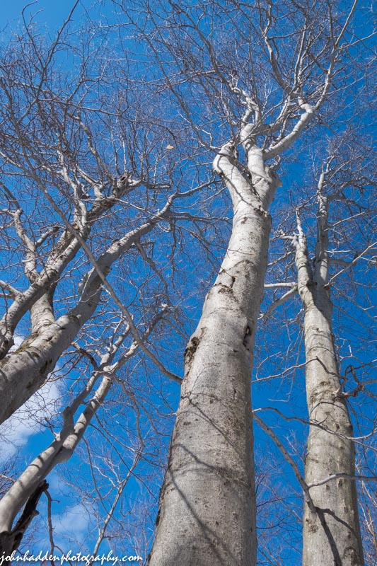Beech trees reach into the blue