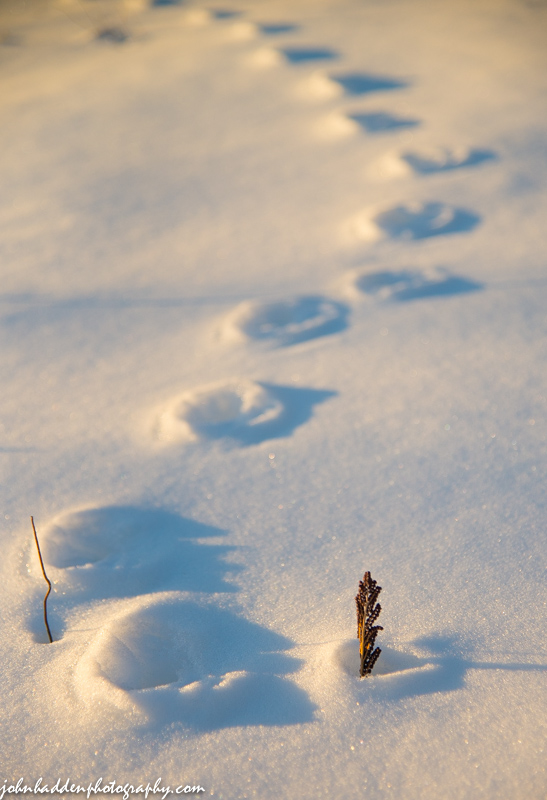 The strong March sun goes to work on coyote tracks in our front field