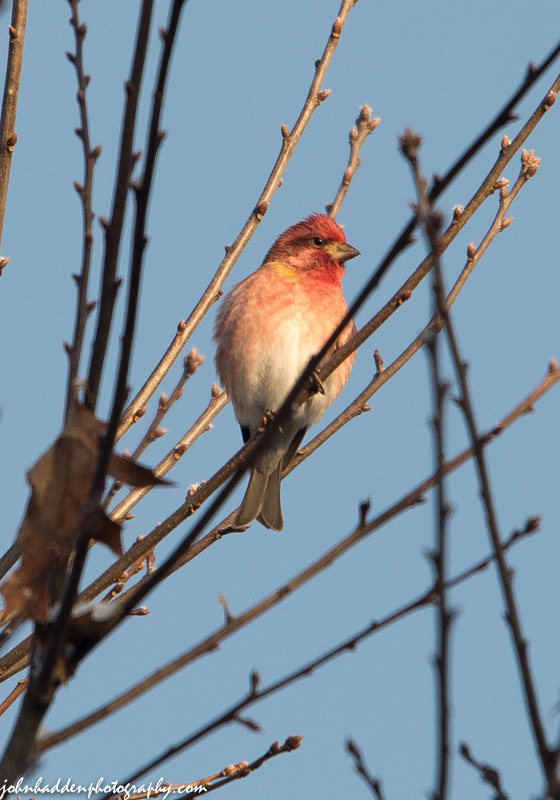 A purple finch sings in the morning sun