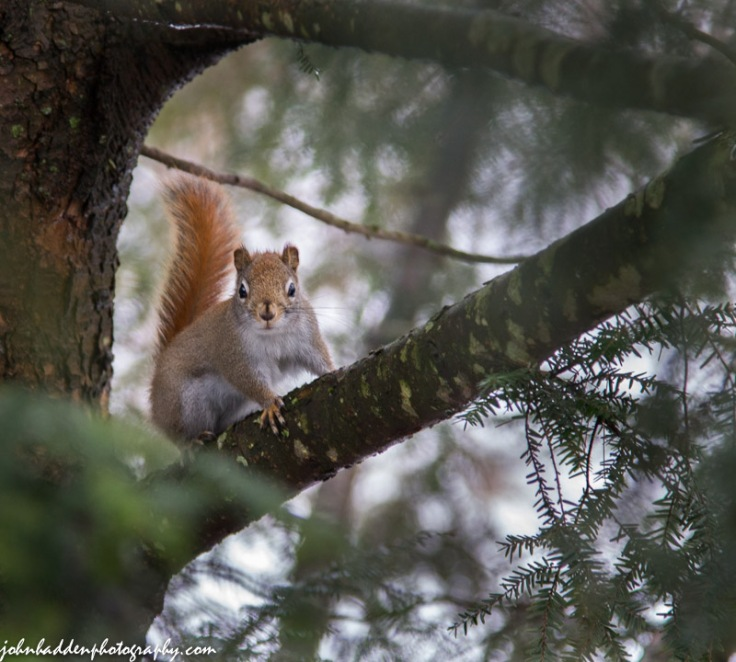 A red squirrel stares me down...