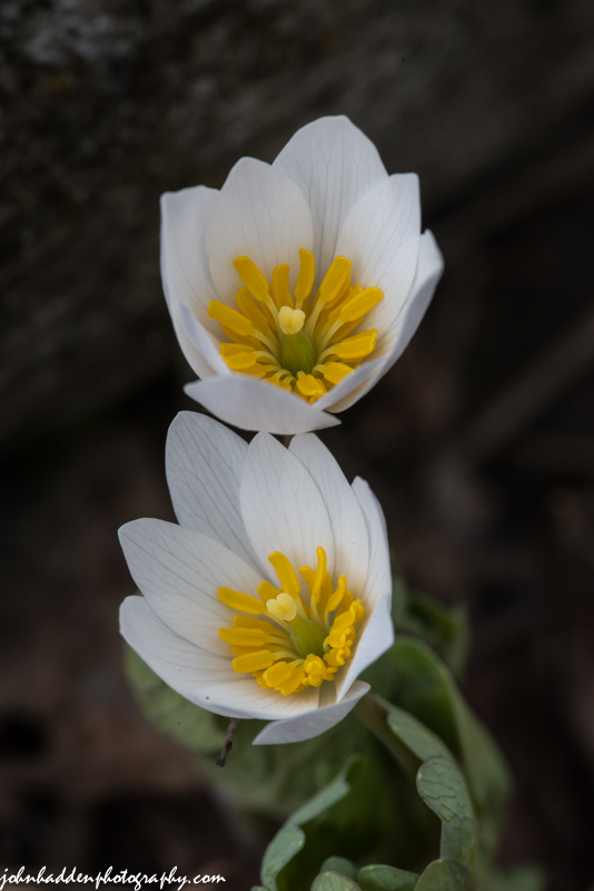 Bloodroot flowering down by Fargo Brook