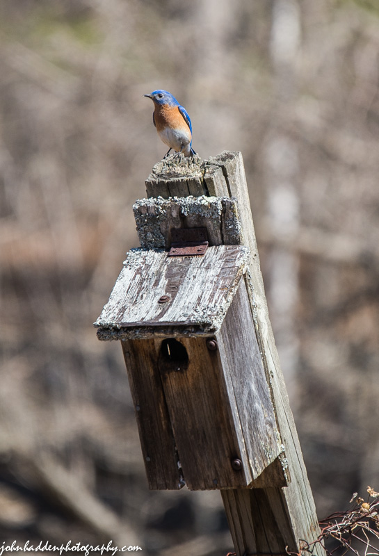 The bluebirds have returned!