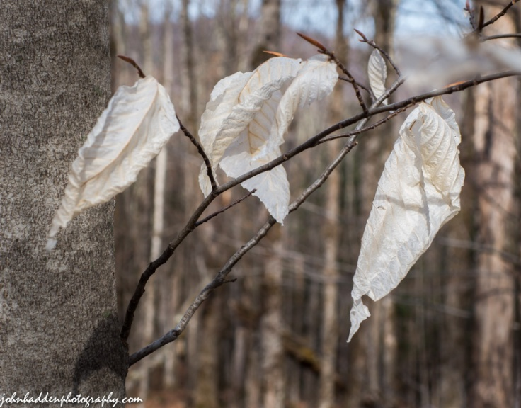 Winter bleached beech leaves