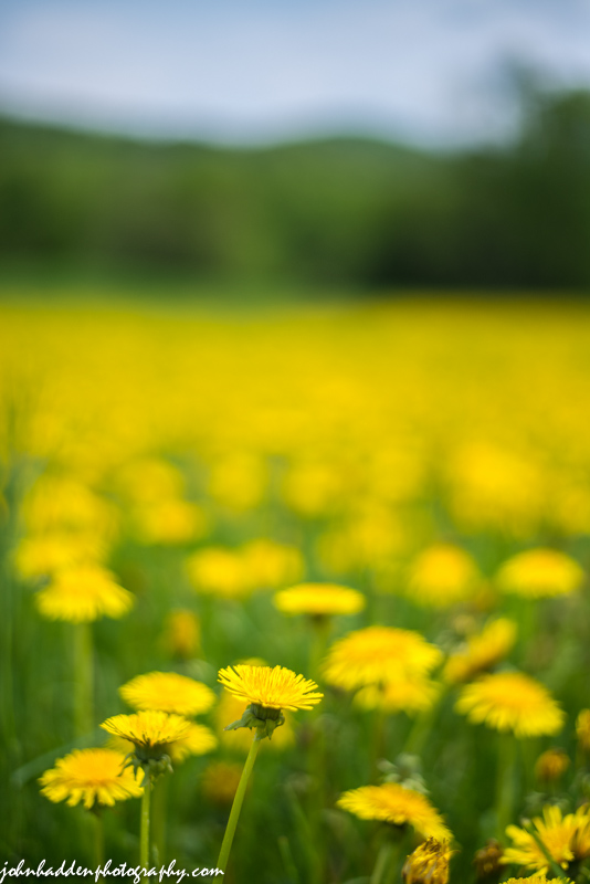 A field of dandelions