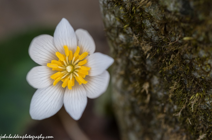 A close look a solitary bloodroot