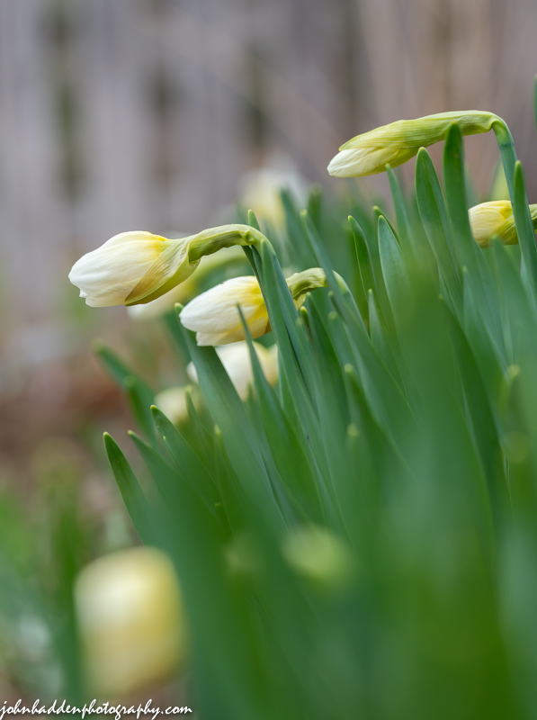 Nodding daffodils