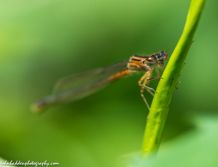 A damselfly on guard by the pond