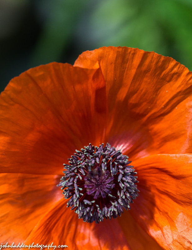 A brilliant red poppy in full sun