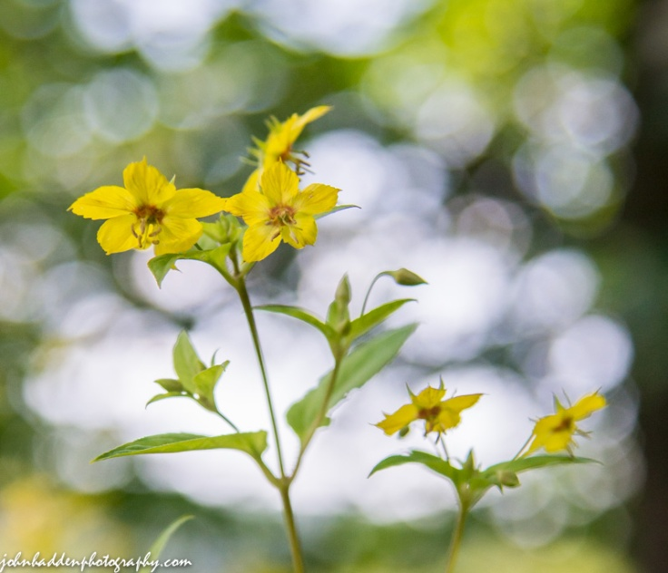 Fringed loosestrife against a dappled background