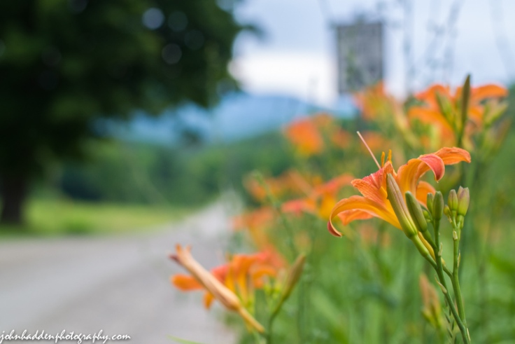 A patch of roadside day lilies