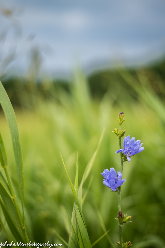 A pair of chicory blossoms in a summer field