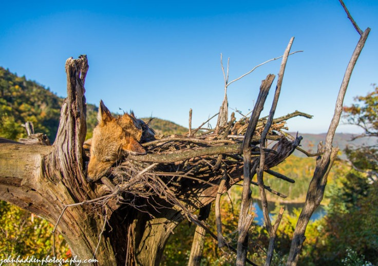 A dead coyote on a funeral bier at the top of the Appalachian Gap