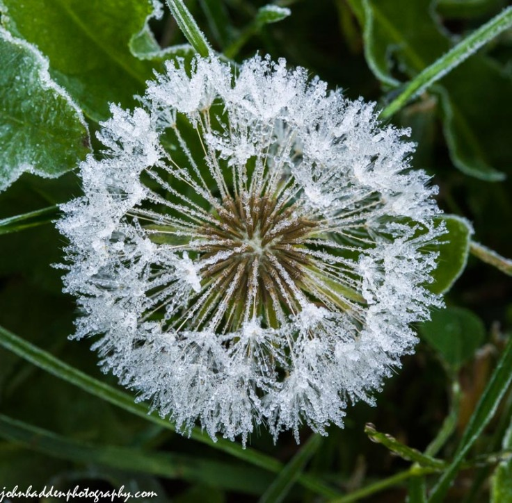 A dandelion head on the morning of our first frost
