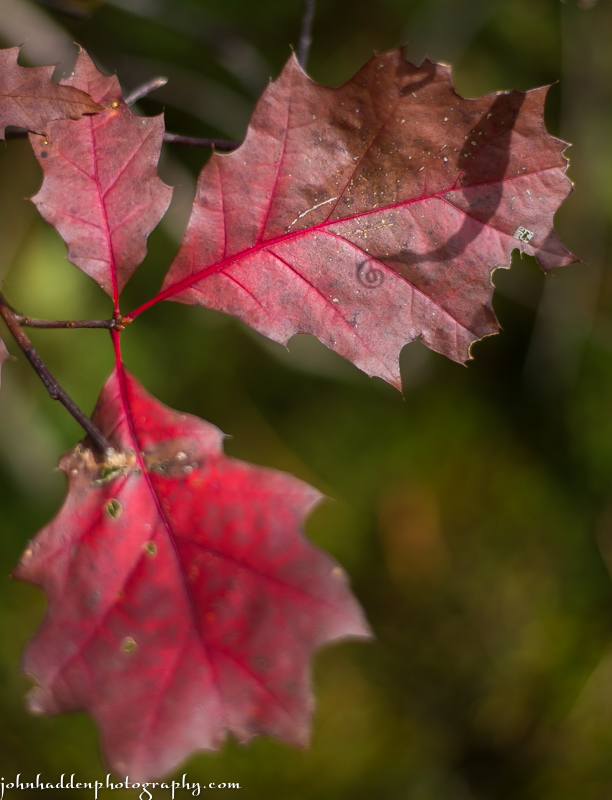 Red oak leaves and a curlicue shadow