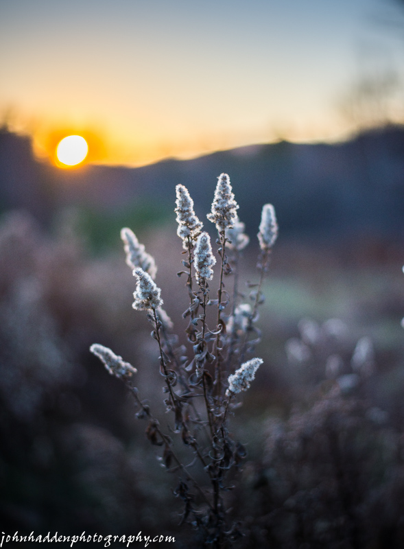 The setting sun backlights a dried goldenrod head