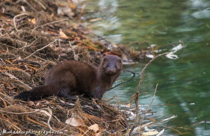 A different view of the mink in our pond
