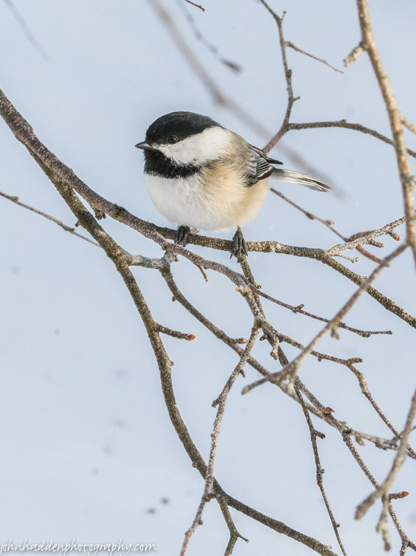 A chickadee pauses briefly...
