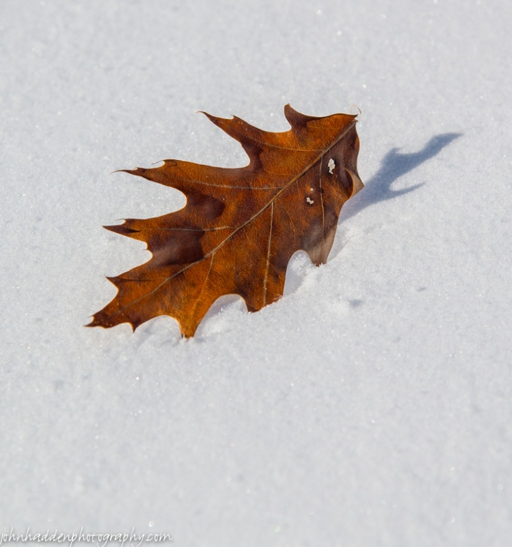 A red oak leaf in new fallen snow