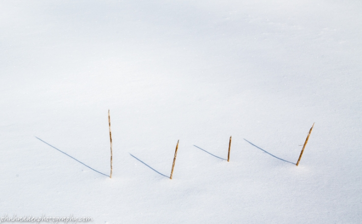 A line of milkweed stems in fresh snow