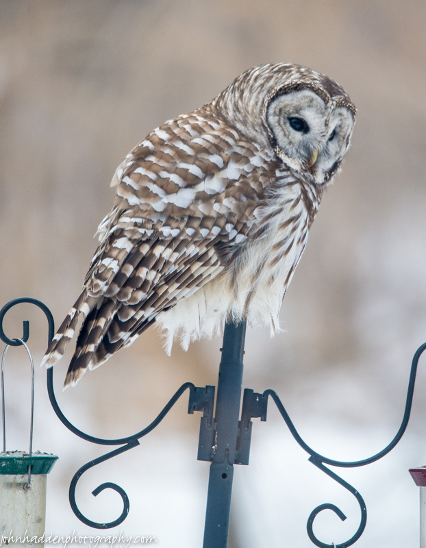 The barred owl came to visit again!