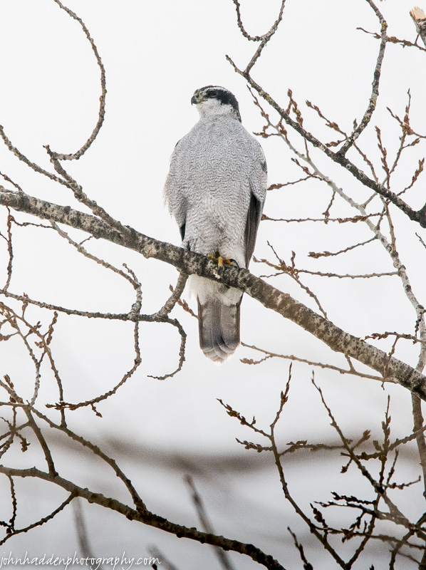 A northern goshawk visits