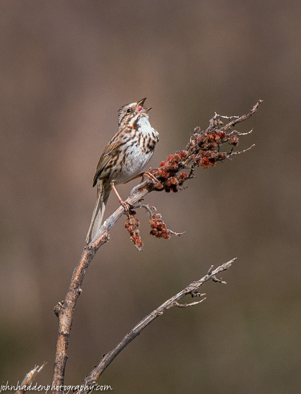 A song sparrow cuts loose in our front field