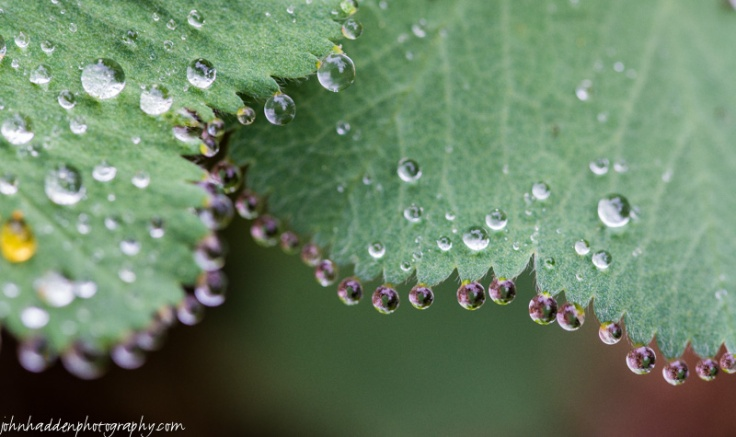Beads of rain cling to Lady's Mantle leaves on a damp morning.